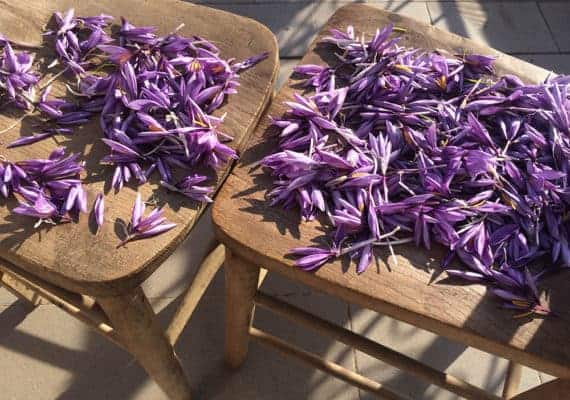 Saffron: the spice of gods and gold