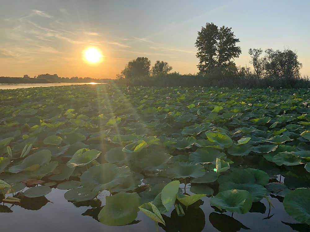 Lotus Flowers : A bit of Asia on Mantua's Waterway
